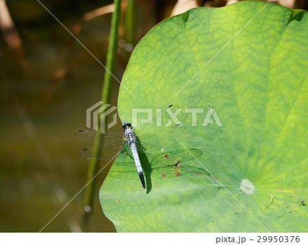蓮の葉に止まるシオカラトンボ 29950376
