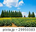 あけぼの山農業公園のひまわり畑 29950383