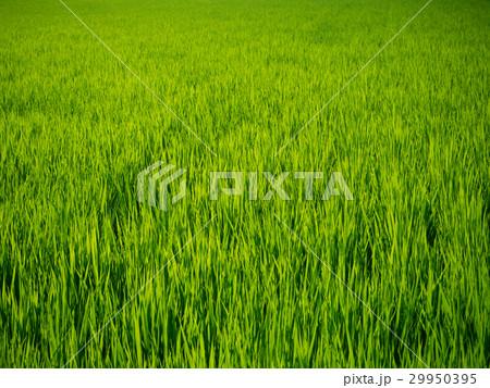 輝く稲 29950395