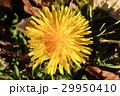 タンポポ 蒲公英 花の写真 29950410