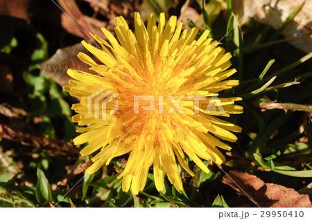 タンポポの花をクローズアップ 29950410