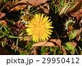 タンポポ 蒲公英 花の写真 29950412