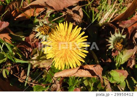 タンポポの花 29950412