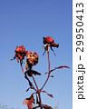 枯れたバラの花 29950413