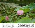 蓮の花と蕾 29950415