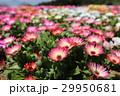 リビングストーンデージーの花々(アップ) 29950681