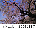 しだれ桜の木(身延山久遠寺) 29951337