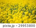 菜の花 春 花の写真 29953800