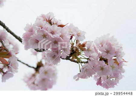 桜の花(ツクバネザクラ) 29954448