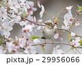 桜の小枝に止まったセンダイムシクイ 29956066