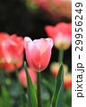 ピンクのチューリップ 29956249