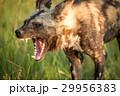 野生 狗 野生動物の写真 29956383