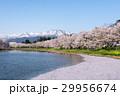 桜 上越市 風景の写真 29956674