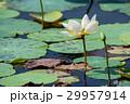 White lotus or Nelumbo nucifera 29957914