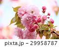 八重桜 桜 さくらの写真 29958787