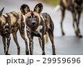 African wild dog starring at the camera. 29959696