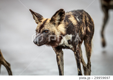 Side profile of an African wild dog. 29959697