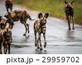 狗 野生動物 動物の写真 29959702