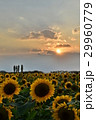 夕暮れのひまわり畑 29960779