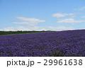ラベンダー ラベンダー畑 富良野の写真 29961638