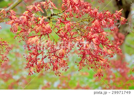 紅い楓の春の若葉、蕾と花 29971749