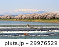 一目千本桜 桜並木 白石川堤の写真 29976529