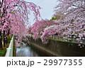 神田川 29977355