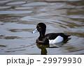 キンクロハジロ 鳥 オスの写真 29979930