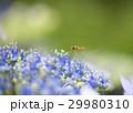 紫陽花と蜂 29980310