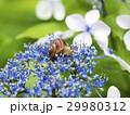 紫陽花とカタツムリ 29980312