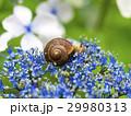 紫陽花とカタツムリ 29980313