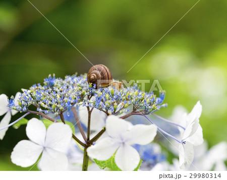 紫陽花とカタツムリ 29980314