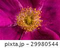 お花 フラワー 咲く花の写真 29980544