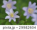 菊咲一華 29982604
