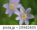 菊咲一華 29982605