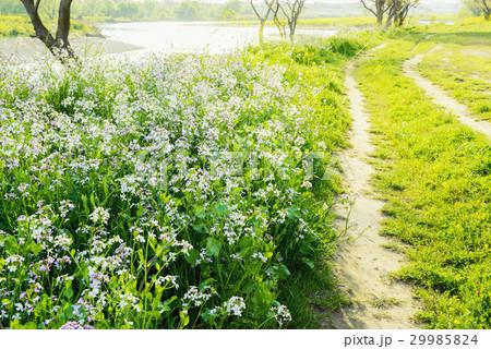 花の咲く小道、多摩川の岸辺。 29985824