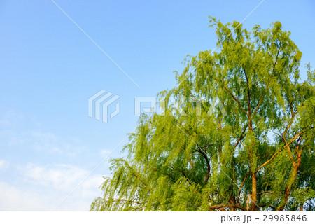 新緑の柳の木 29985846
