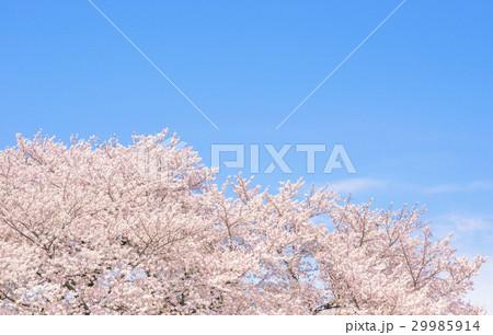 桜の花。日本の象徴的な花木。 29985914