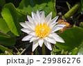 Beautiful white lotus in garden 29986276
