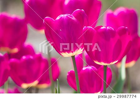 Violet tulip flowers spring background 29987774