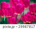Pink and violet tulip flowers 29987817