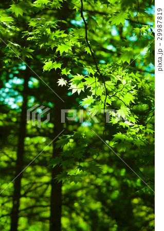 Green maple leaves forest background 29987819