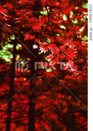 Autumn red maple leaves background 29987822