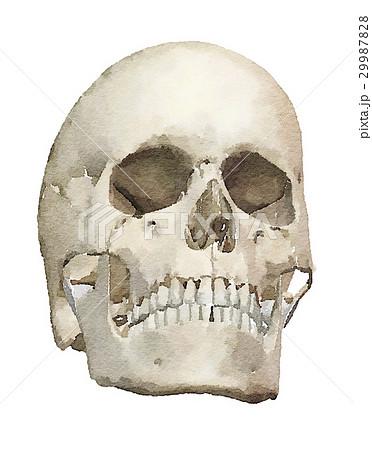 人間の頭蓋骨 水彩画風 29987828