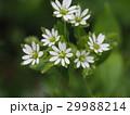 ミドリハコベ 花 ハコベの写真 29988214