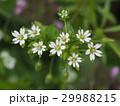 ミドリハコベ 花 ハコベの写真 29988215