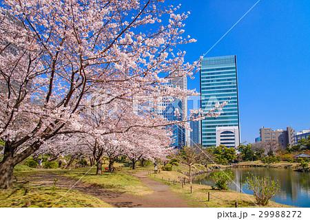 旧芝離宮恩賜庭園、桜の季節 29988272