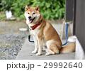 柴犬 29992640