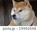 柴犬 29992648