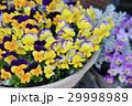 ビオラ 花 鉢植えの写真 29998989